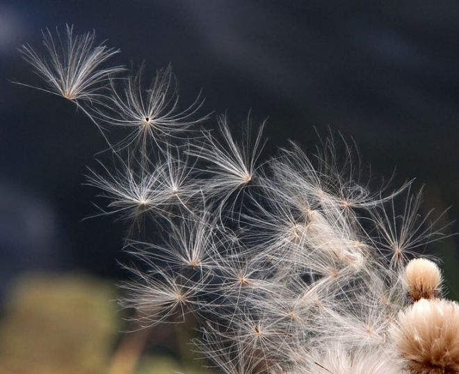 Image by Tony Hisgett from Birmingham, UK (Thistle seeds Uploaded by Magnus Manske) [CC BY 2.0 (http://creativecommons.org/licenses/by/2.0)], via Wikimedia Commons